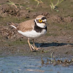 LITTLE RINGED PLOVER   E.H.F.   14-05-16