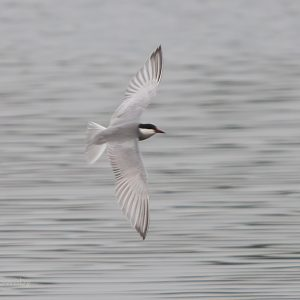 WHISKERED TERN  E.H.F.  07/05/16