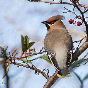 "WAXWING ETTILEY HEATH 24-02-17   MORE ON  ""OTHER SITES"""