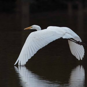 GREAT-EGRET-E.H.F.-20-10-16